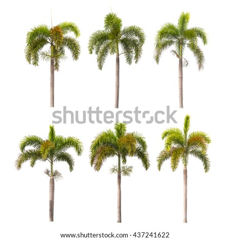 Foxtail palm trees isolated on white background - Shutterstock ID 437241622