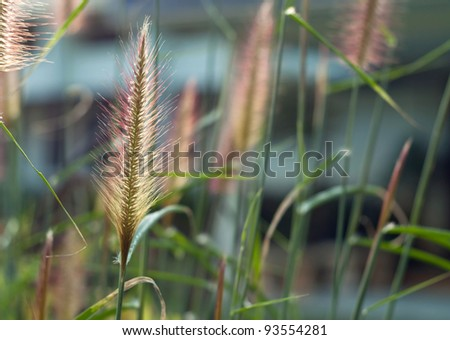 Foxtails of the genus Setaria are summer annual grasses.
