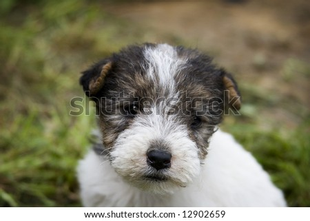 Terrier Puppies on Foxterrier Puppy Stock Photo 12902659   Shutterstock