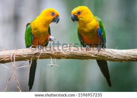 Foz do Iguacu, Brazil 2019 Golden conure parrot copule pair ( Guaruba guarouba ) at the Parque das Aves in Iguazu, beautiful nature of Brazil Paraguay and Argentina Foto stock ©
