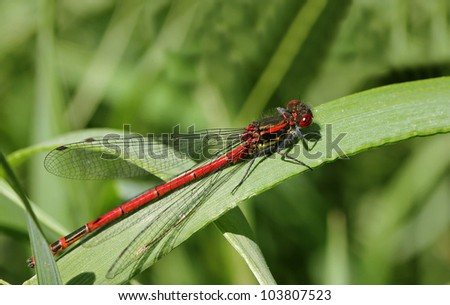 Fr�¼he Adonislibelle,Pyrrhosoma nymphula,Pyrrhosoma nymphula sitting on a leaf, reddragonfly sitting on a leaf #103807523