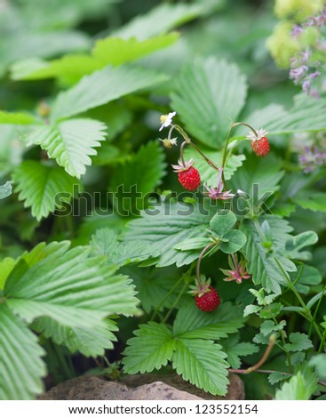 Fragaria vesca berries - stock photo