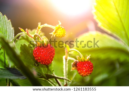 fragaria vesca strawberry wild berry wild strawberry grows berries macro forest berries nature summer  in the glare of light  at sunset #1261183555