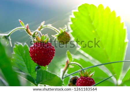 fragaria vesca strawberry wild berry wild strawberry grows berries macro forest berries nature summer in the glare of light #1261183564