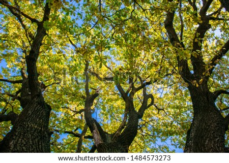 Fragment of the huge trunk and lush crown of a relic oak tree under the golden sunbeams.Eastern Europe. #1484573273
