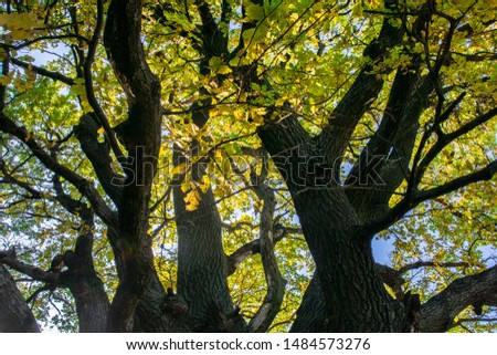 Fragment of the huge trunk and lush crown of a relic oak tree under the golden sunbeams.Eastern Europe. #1484573276