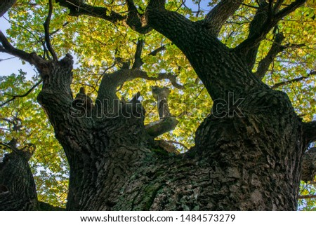 Fragment of the huge trunk and lush crown of a relic oak tree under the golden sunbeams.Eastern Europe. #1484573279