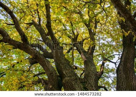Fragment of the huge trunk and lush crown of a relic oak tree under the golden sunbeams.Eastern Europe. #1484573282