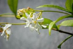 Fragrant jasmine flower. Close-up leaves and jasmine flower. Fragrant flowers on the balcony. Selective focus.