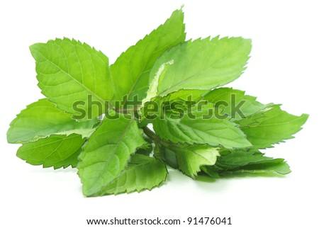 Fragrant leaflets, green mint. - stock photo