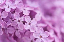 Fragrant lilac blossoms (Syringa vulgaris). Shallow depth of field, selective focus