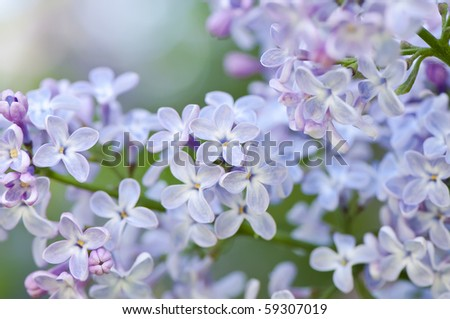 Fragrant lilac blossoms (Syringa vulgaris). Shallow depth of field, selective focus