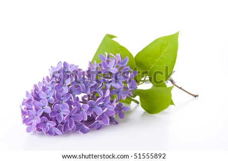 Fragrant lilac - spring is coming