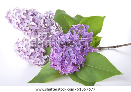 stock photo : fragrant lilac with green leaves isolated on white