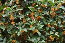 Fragrant olive flowers / Oleaceae evergreen tree
