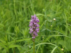 Fragrant Orchid. Gymnadenia conopsea, commonly known as the fragrant orchid or chalk fragrant orchid, is a herbaceous plant of the family Orchidaceae.