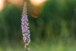 Fragrant orchid (Gymnadenia conopsea) on a background of beautiful sunset bokeh.