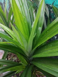Fragrant pandan is a type of monocotyledonous plant of the Pandanaceae family that has a distinctive fragrant leaves.