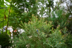 Fragrant pine or African pine with red and fragrant shoots grows in the garden.It has a unique scent similar to peppermint or lemon,which makes you feel fresh.It is popular as an insect repellent tree