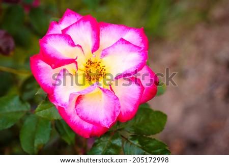 Fragrant Rose in Full Bloom. Washington Park Rose Garden, Portland, Oregon