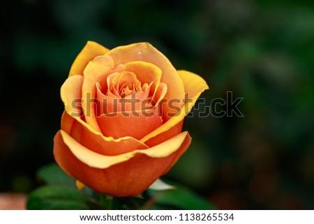 Fragrant Rose in Full Blossom. Washington Park Rose Garden, Portland, Oregon #1138265534