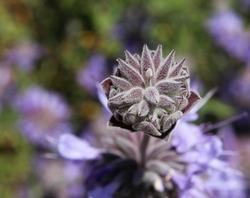 Fragrant sage produces lavender flowers and fragrant leaves
