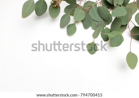 Frame, border made of green Silver dollar Eucalyptus cinerea leaves and branches on white background. Floral composition. Feminine styled stock flat lay image, top view. Copy space.