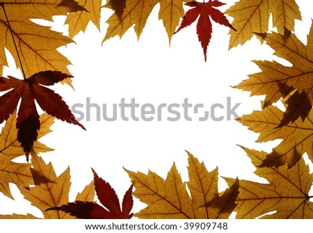 Frame from leaves of Silver maple (Acer saccharinum) and Japanese maple (Acer palmatum) isolated on white