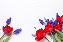 Frame from red tulips and blue muscaries flowers  on  white textured  background. Floral still life.  Selective focus. Place for text. Top view.