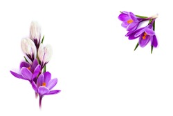 Frame of violet and white crocuses (Crocus vernus) on a white background with space for text. Top view, flat lay