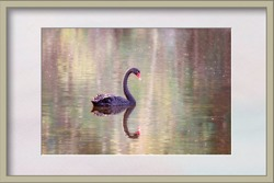 Framed image of a swan gliding peacefully on a serene lake in beautiful afternoon light with a reflection