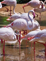 Framingo is a beautiful pink looking for food in the pool. Live together in a large group.