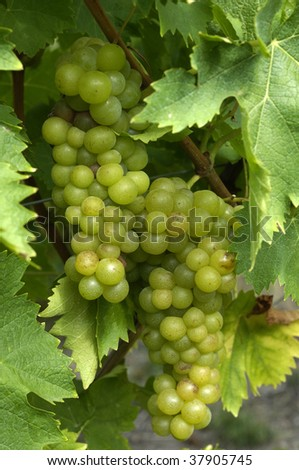 France, Alsace, vineyard of Riquewihr