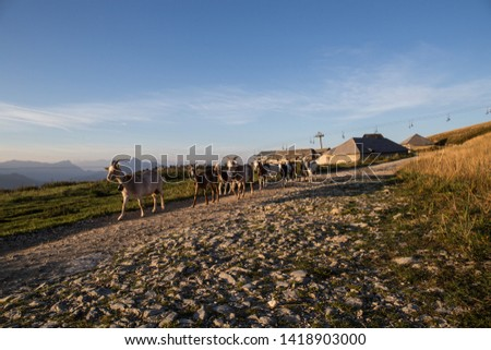 france in a mountain pasture, the herd of goats follow the leader and go from the farm on the stone path to the first light of the morning #1418903000