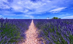 France, Provence, Valensole. June 2016. At the Valensole plain it is possible to enjoy the spectacle of lavender bloom in a unique context in the world. Tourists in white dresses are photographed.