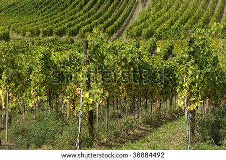 France, vineyard of Riquewihr in Alsace