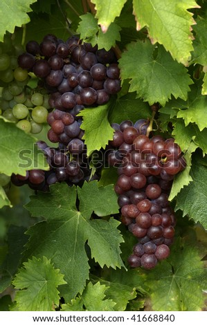 France, vineyard of Riquewihr in Alsace
