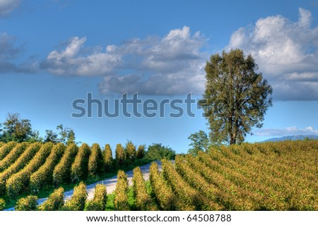 Franciacorta Vineyard before sunset, with road and large tree; HDR image