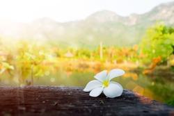frangipani flower in the morning.