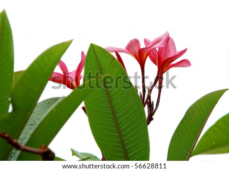frangipani flower is very popular for spa decoration