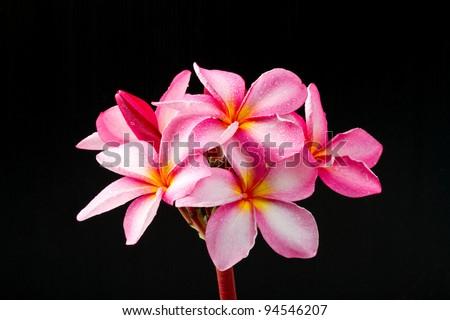 Frangipani flower isolated on back