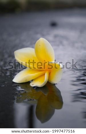 frangipani flower lying on asphalt road near puddle after rain Photo stock ©