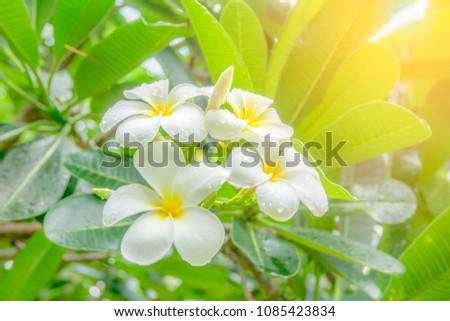 Frangipani flower or plumeria flower blooming and water rain droplet on petal is beautiful. It white frangipani bouquet on branch of tree and green leaf on light daytime background #1085423834