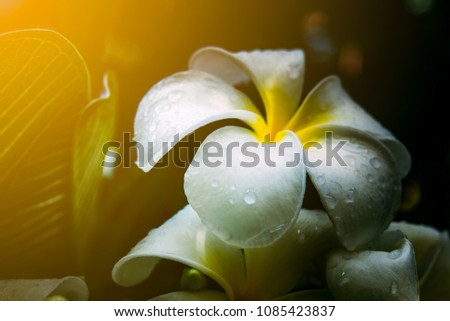 Frangipani flower or plumeria flower blooming and water rain droplet on petal is beautiful. It white frangipani bouquet on branch of tree and green leaf on light daytime background #1085423837