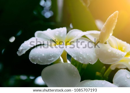 Frangipani flower or plumeria flower blooming and water rain droplet on petal is beautiful. It white frangipani bouquet on branch of tree and green leaf on light daytime background #1085707193