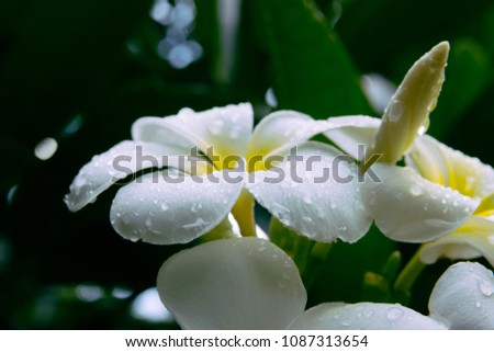 Frangipani flower or plumeria flower blooming and water rain droplet on petal is beautiful. It white frangipani bouquet on branch of tree and green leaf on light daytime background #1087313654