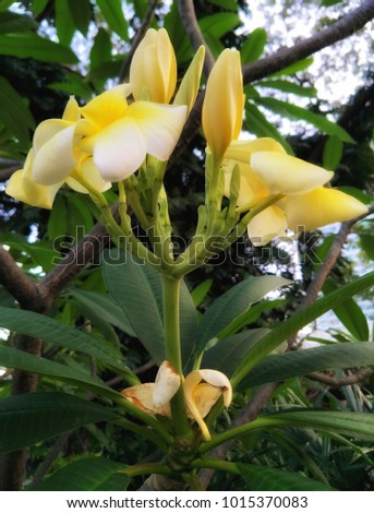 Frangipani flower or Plumeria flower, Temple Tree blooming and wilt flower on the green leafs. White and yellow pale yellow dark color flowers. #1015370083