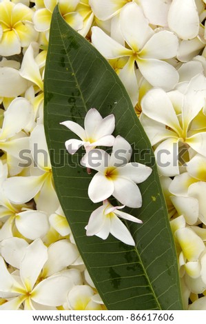 frangipani flowers background - leaf with many frangipani flowers
