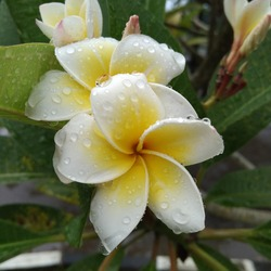frangipani flowers blooming in the city park