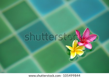 Frangipani flowers floating in the swimming pool